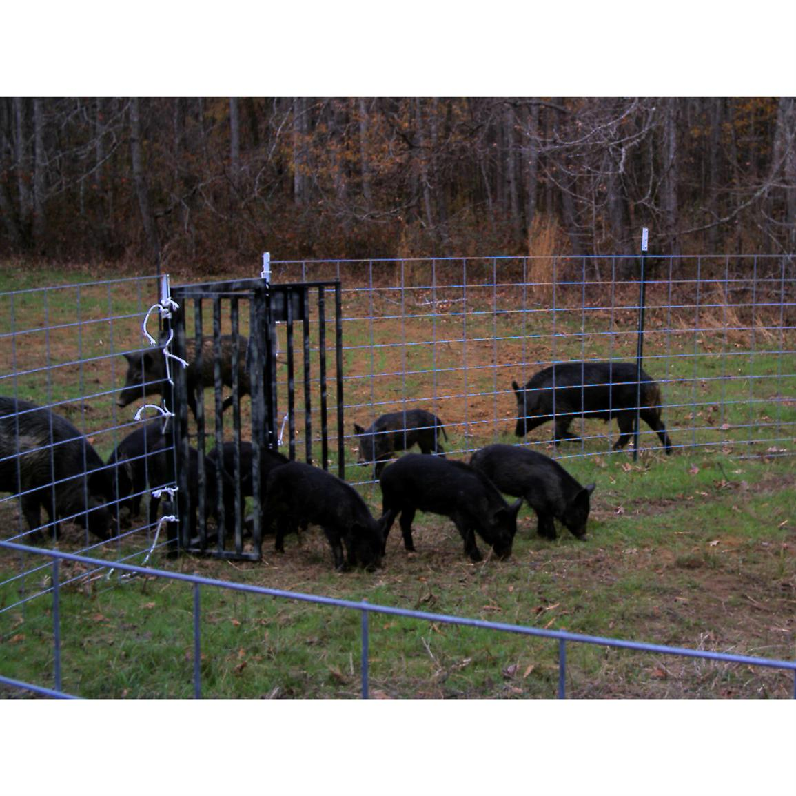 Trapped hogs lure more hogs