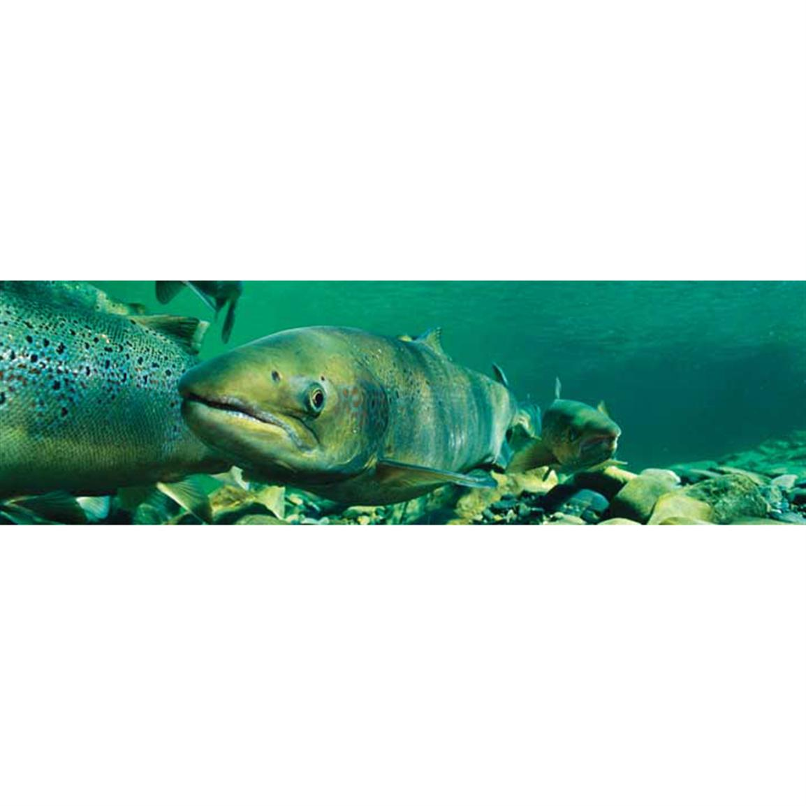 Vantage Point Concepts® Spawning Salmon National Geographic Window Graphics