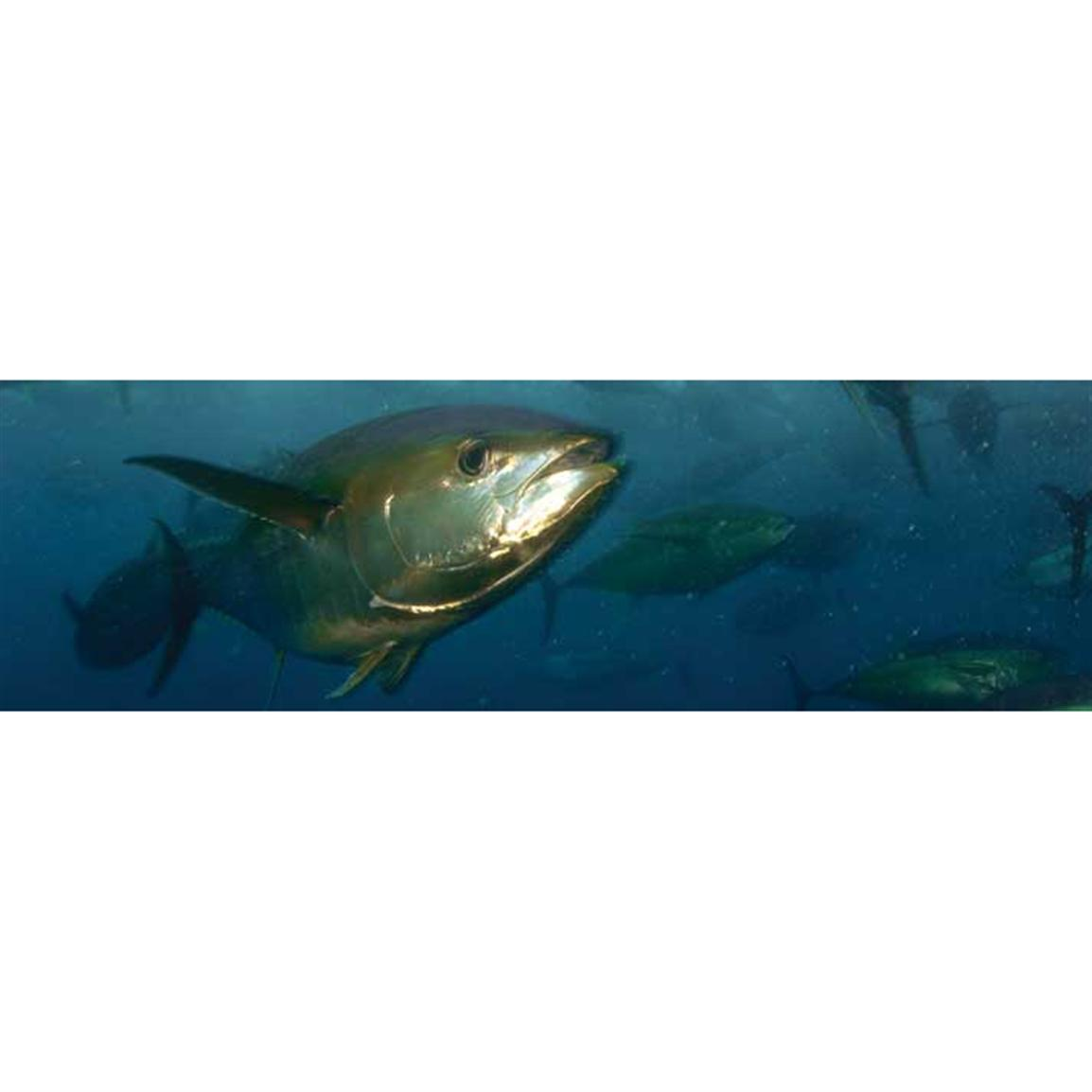 Vantage Point Concepts® Yellowfin Tuna National Geographic Window Graphics