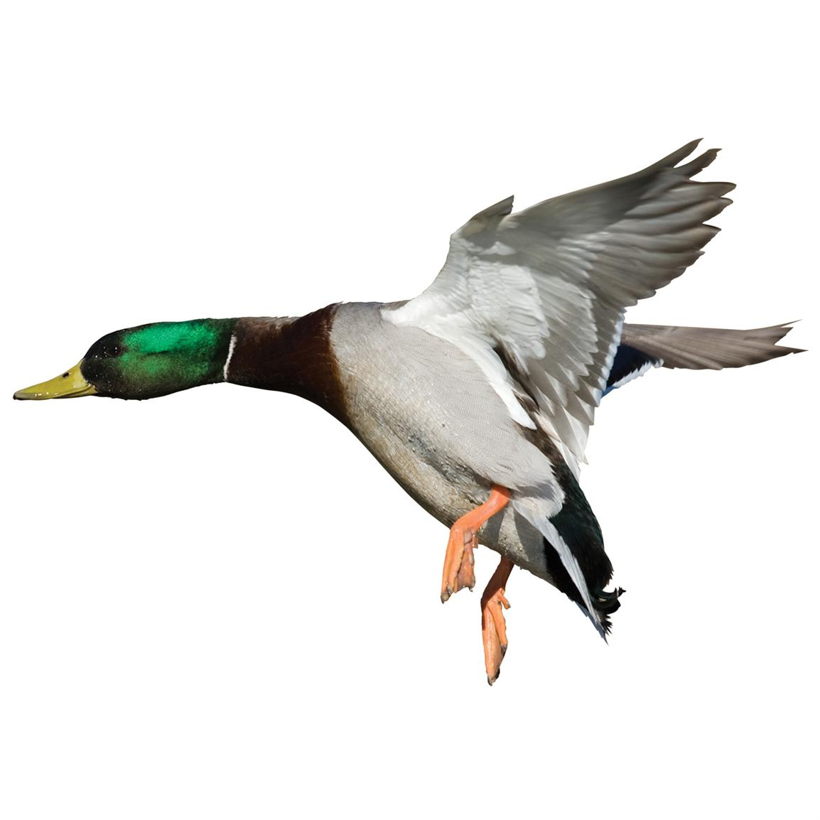 Mallard Drake Indoor Wall Graphic, Landing / Left Facing