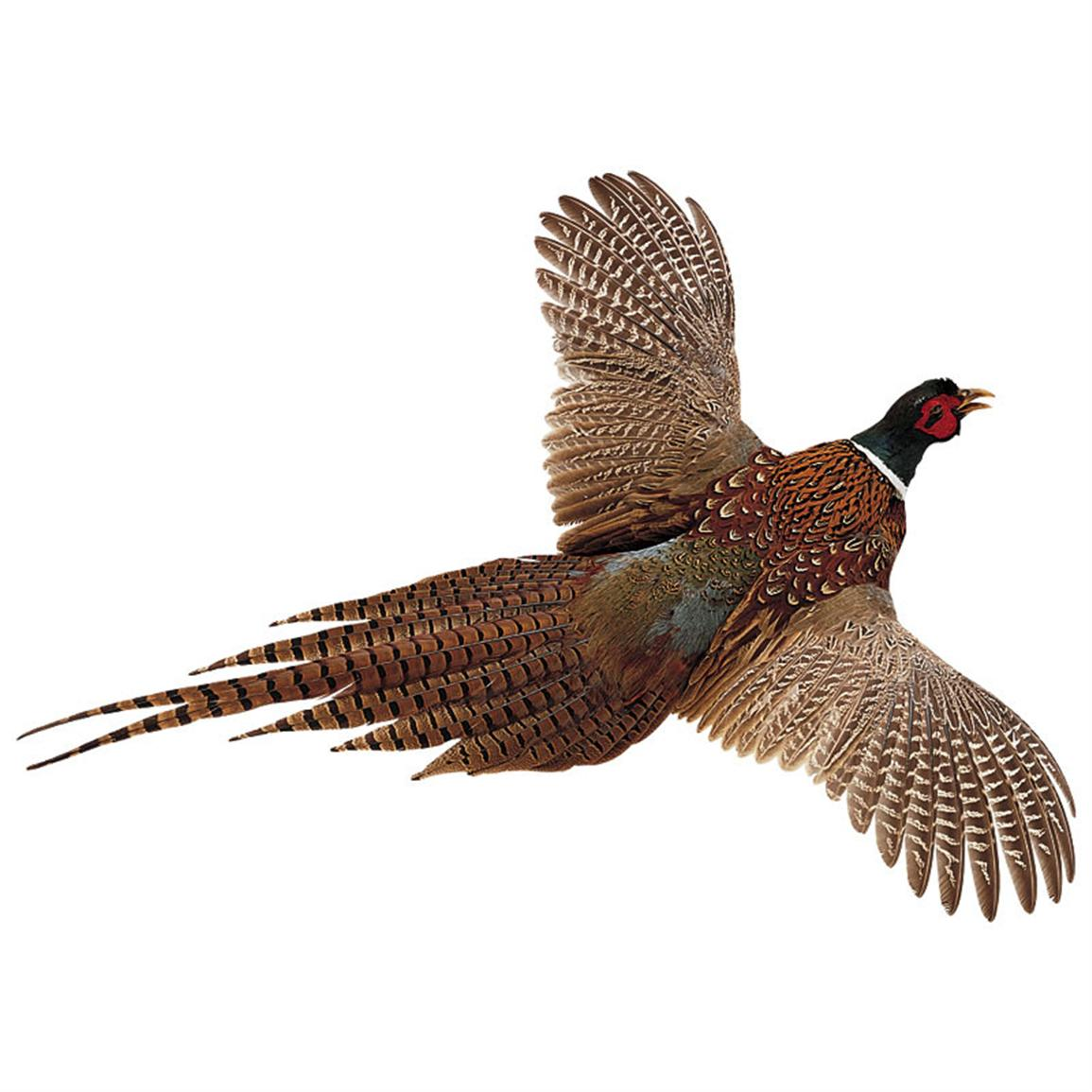 High-Flyer Pheasant, Flying from Left to Right