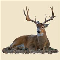 Bedded Whitetail Buck Indoor Wall Graphic