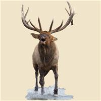 Bull Elk Indoor Wall Graphic, Splashing in River