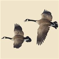 Flying Canada Goose Indoor Wall Graphic, 2 Flying Geese / Left-facing