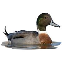 Pintail Mix Mallard Indoor Wall Graphic, Sitting in Water