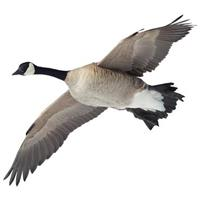 Canada Goose Indoor Wall Graphic, Flying Overhead